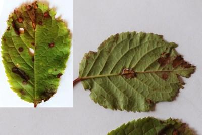 Bacterie Xanthomonas arboricola op blad zoete kers
