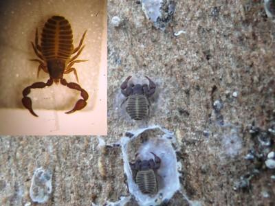 Pseudoschorpioen (Chernes hahni) onder schors plataan