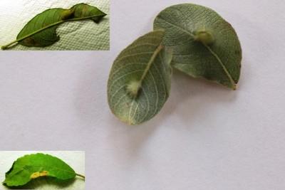 bladwesp (Grauwe wilgblaas) - Wilg Plantengal