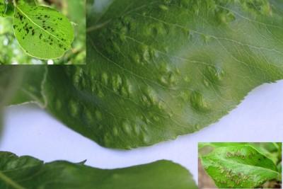 Perenpokmijt - Perelaar Plantengal Boven-en onderkant