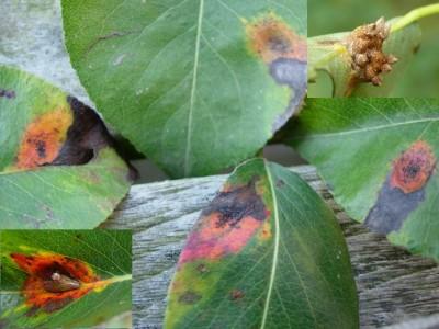 Gewone jeneverbes roest : Plantengal op Peer