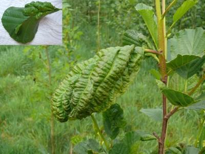 Elzenblaasschimmel - Plantengal op Blad els