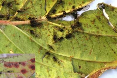 Kornoeljeluis gevleugeld, larven en aantasting