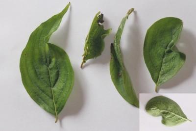 mijt (Cenopalpus spinosus) - Kornoelje Plantengal